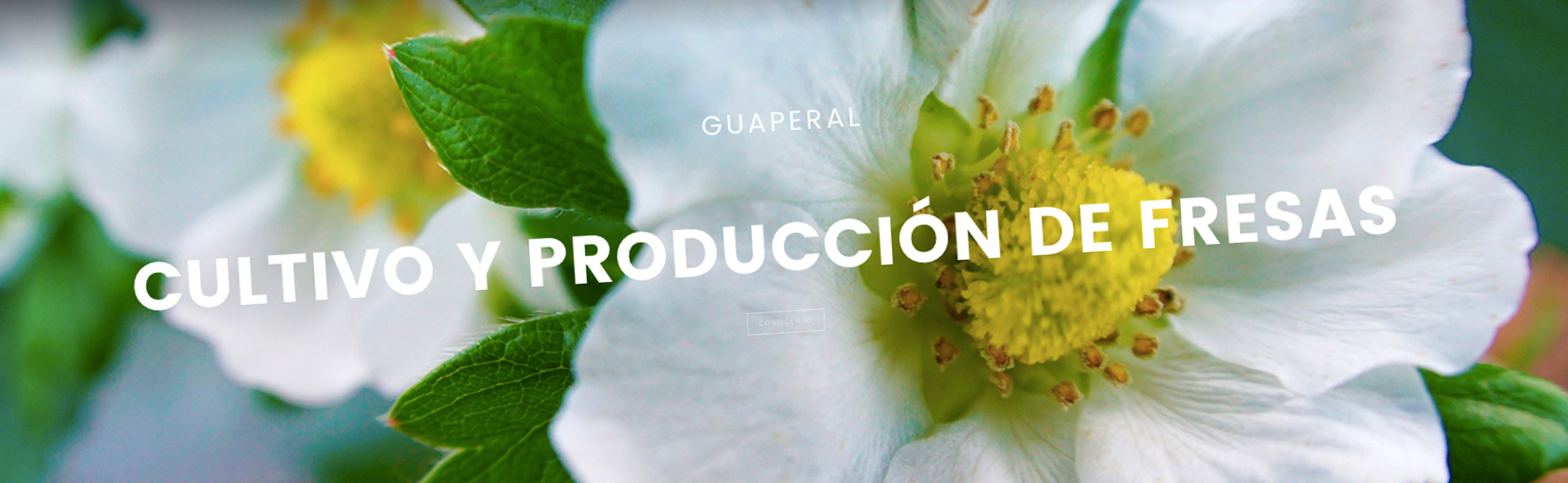 Fresas de calidad en Huelva